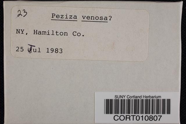 Image of Peziza venosa