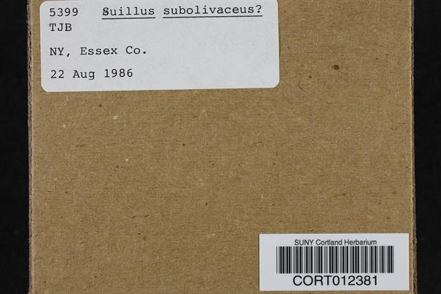 Suillus subolivaceus image