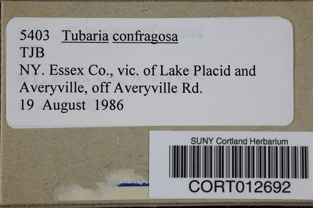 Image of Tubaria confragosa