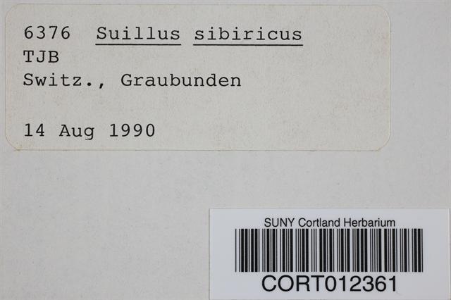 Image of Suillus sibiricus