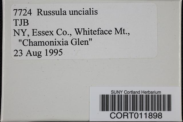 Russula uncialis image