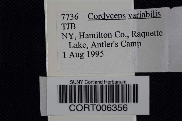Image of Cordyceps variabilis