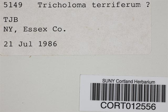 Image of Tricholoma terriferum