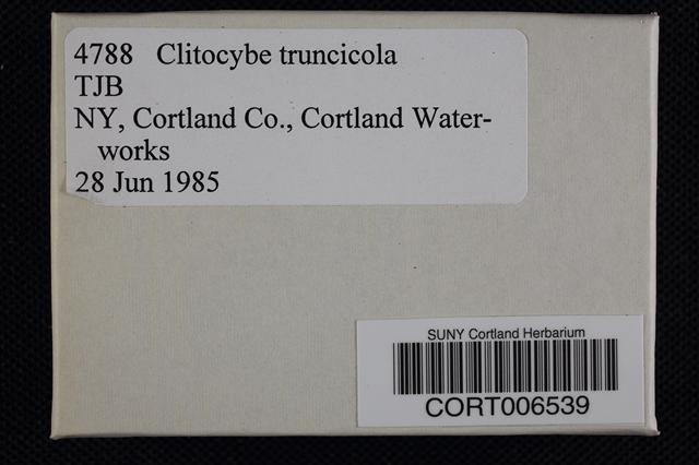 Clitocybe truncicola image