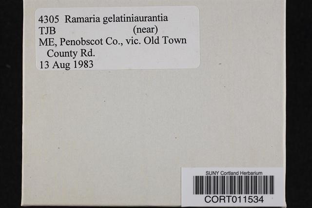 Ramaria gelatiniaurantia image