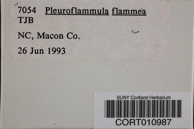 Pleuroflammula flammea image