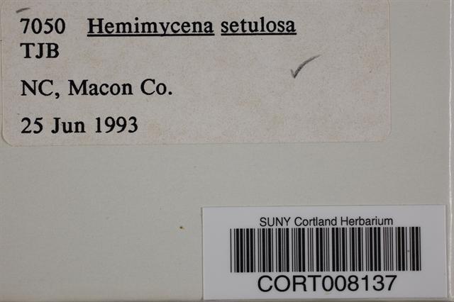 Image of Hemimycena setulosa