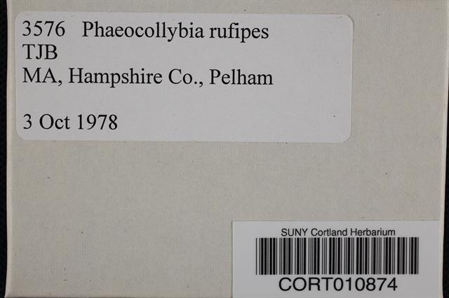 Image of Phaeocollybia rufipes