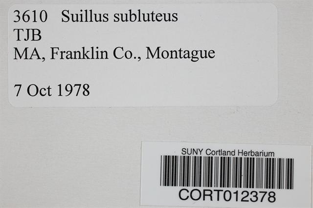 Image of Boletus subluteus