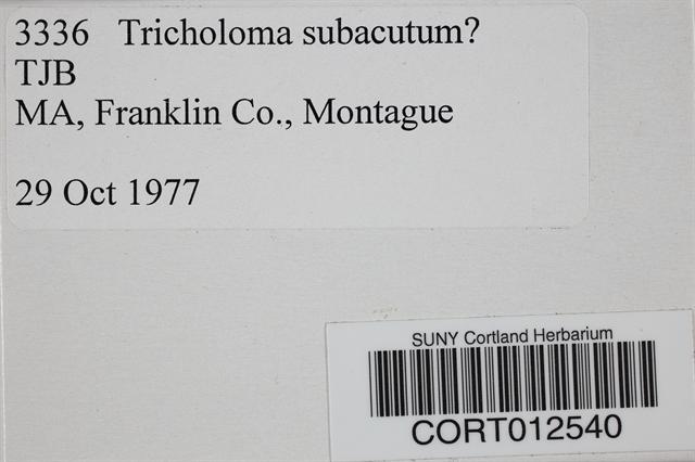 Image of Tricholoma subacutum