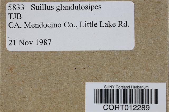 Suillus glandulosipes image