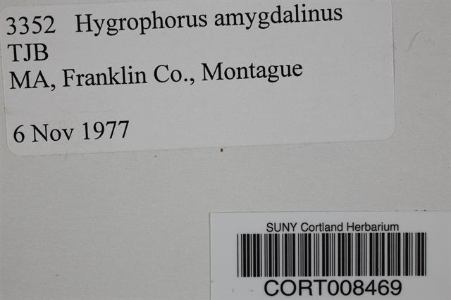 Hygrophorus amygdalinus image
