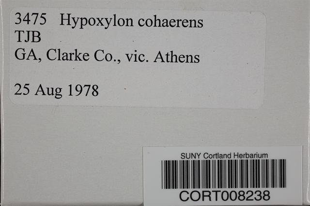 Annulohypoxylon cohaerens image