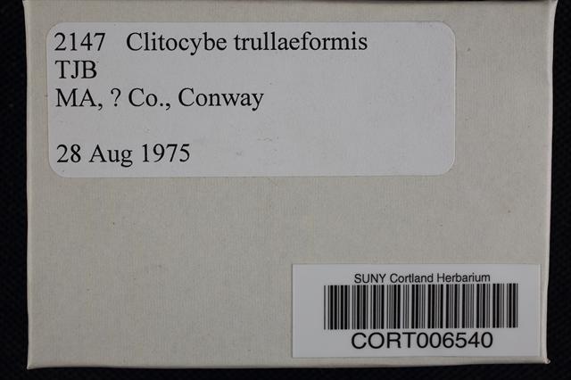 Clitocybe trullaeformis image