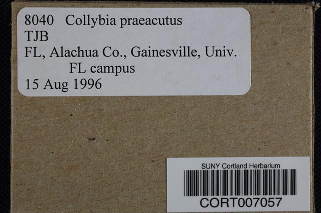 Image of Collybia praeacuta