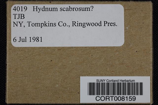 Image of Hydnum scabrosum