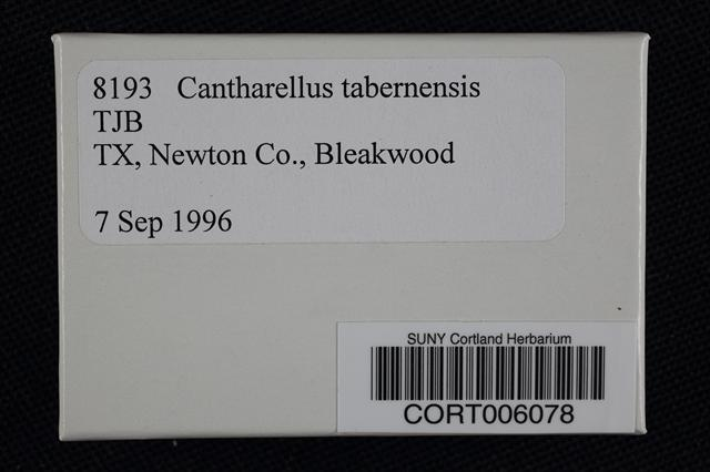 Cantharellus tabernensis image
