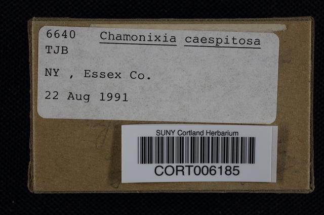 Chamonixia caespitosa image
