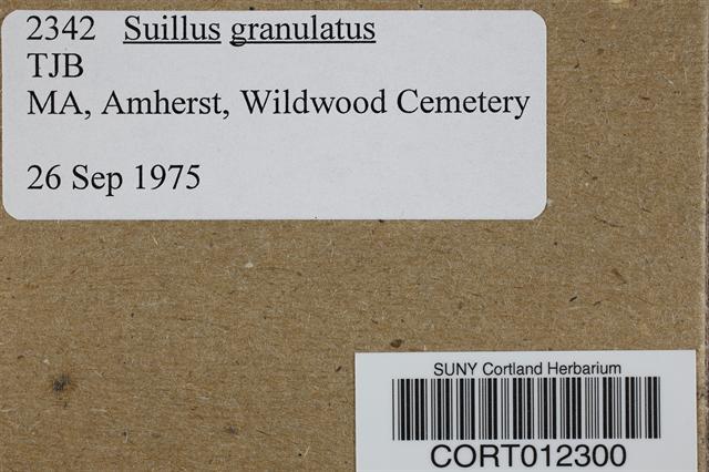 Suillus granulatus image
