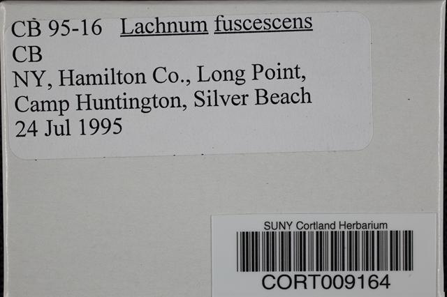 Lachnum fuscescens image