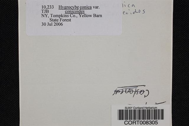 Hygrocybe conicoides image