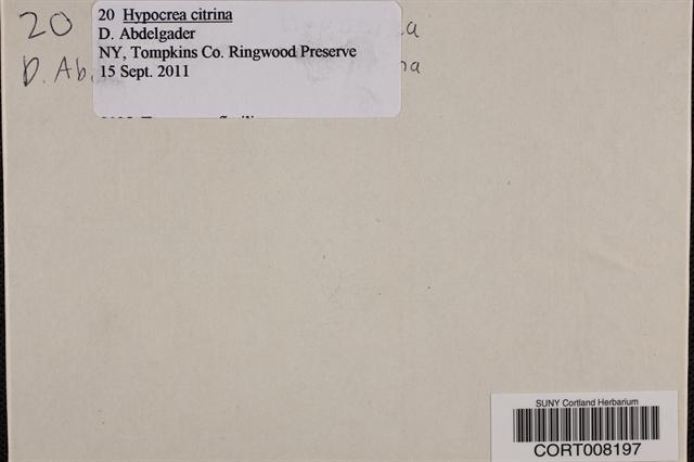 Hypocrea citrina image