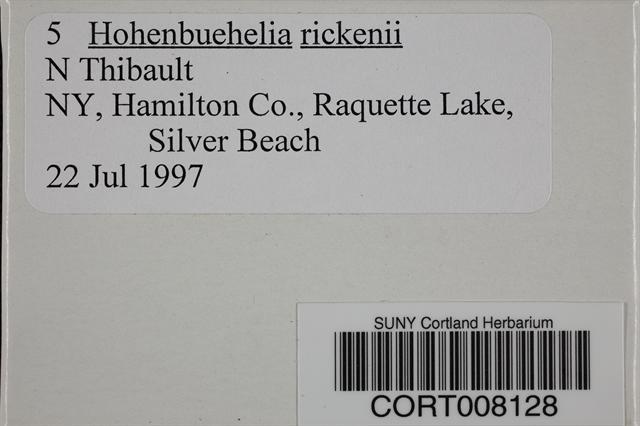 Image of Hohenbuehelia rickenii