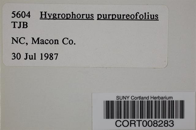 Image of Hygrophorus purpureofolius