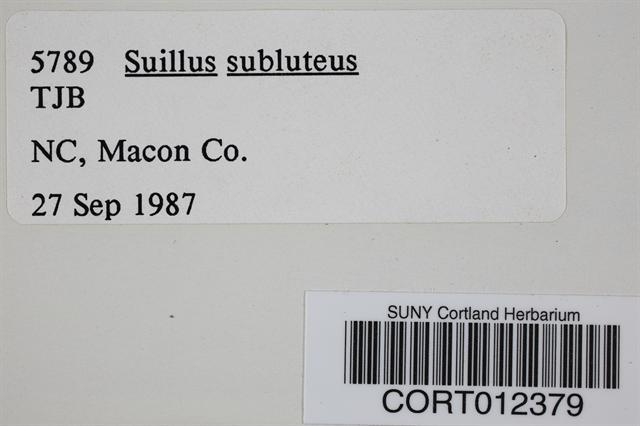 Suillus subluteus image