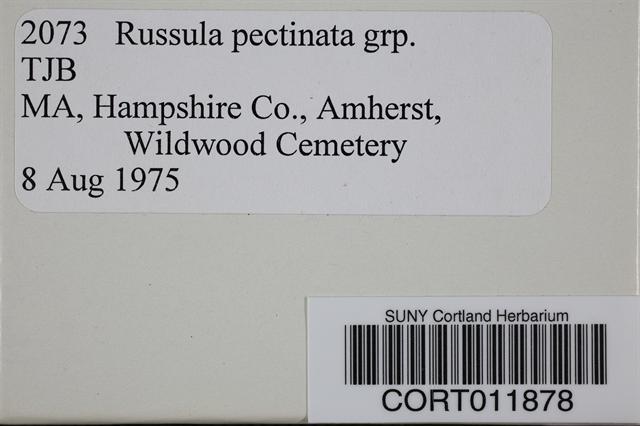 Russula pectinata image