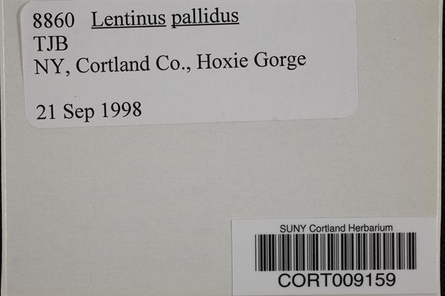 Image of Lentinus pallidus