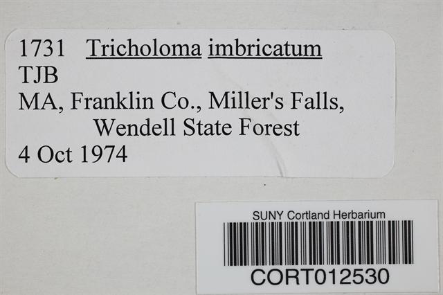Tricholoma imbricatum image