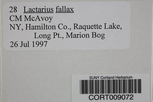 Lactarius fallax image