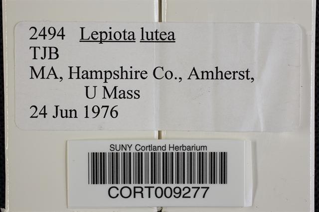 Leucocoprinus birnbaumii image