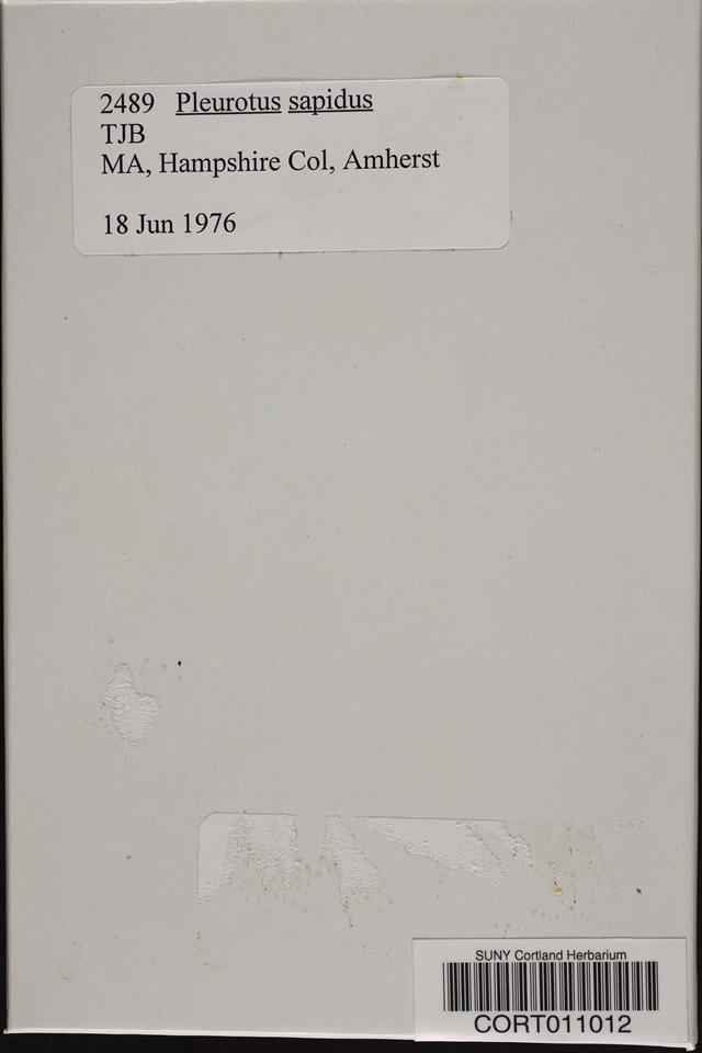 Pleurotus cornucopiae image