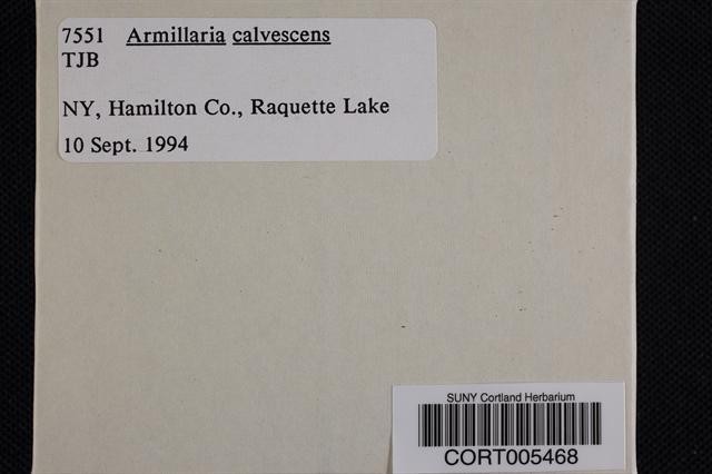 Armillaria calvescens image