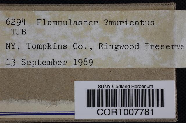 Flammulaster muricatus image