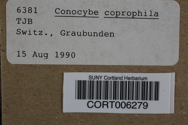 Conocybe coprophila image