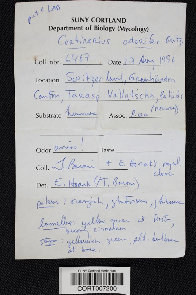 Cortinarius odorifer image