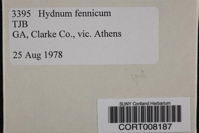 Image of Hydnum fennicum