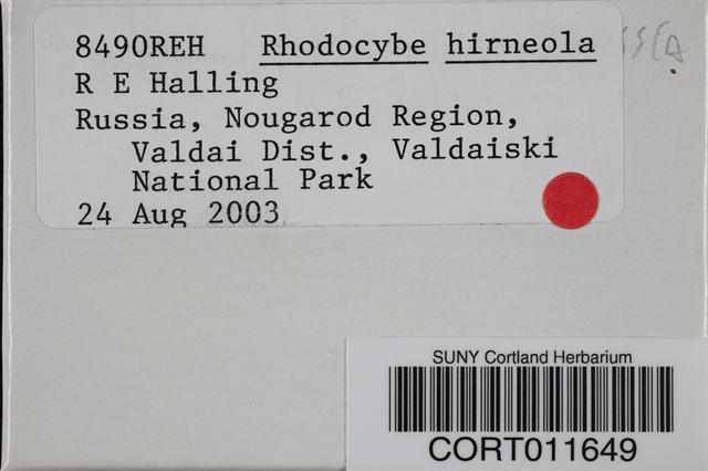Rhodocybe hirneola image
