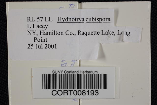 Hydnotrya cubispora image