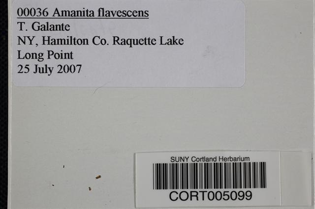 Amanita flavescens image
