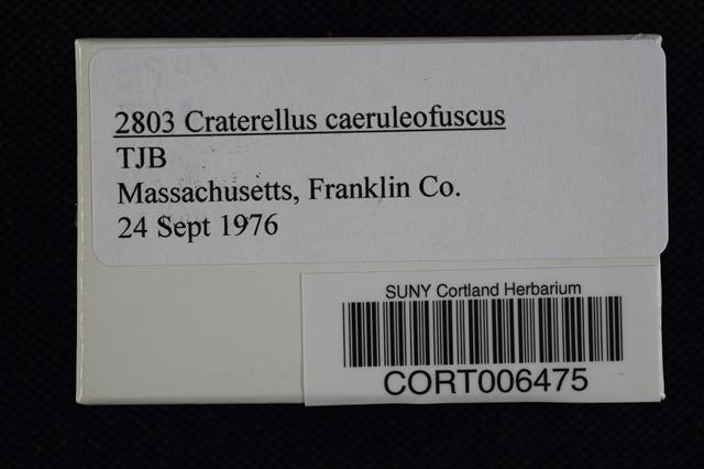 Craterellus caeruleofuscus image