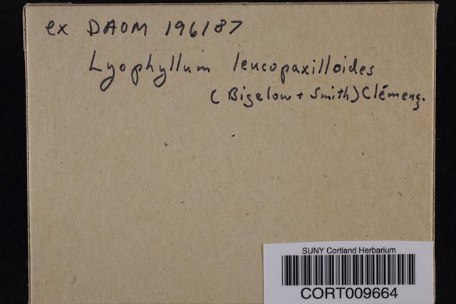 Image of Lyophyllum leucopaxilloides