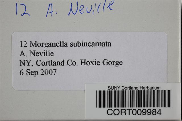 Morganella subincarnata
