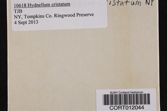 Hydnellum cristatum image