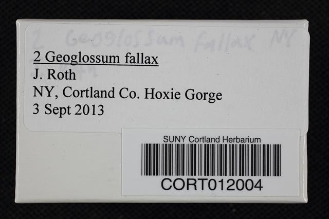 Geoglossum fallax image
